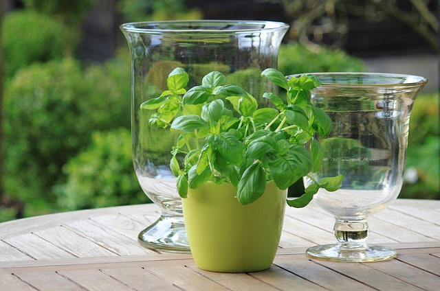The Amazing Benefits Of Basil Oil